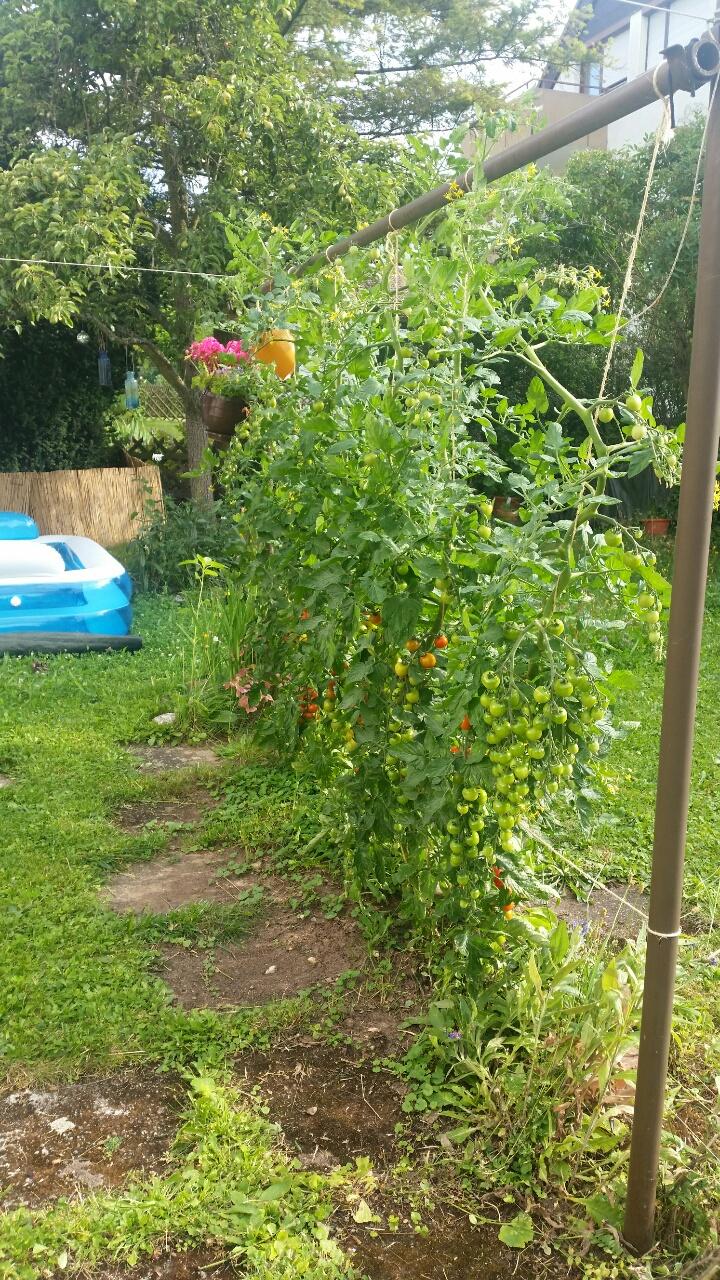 tomaten im eigenen garten anbaustrategie deinbeet entdecke die gem slichkeit. Black Bedroom Furniture Sets. Home Design Ideas
