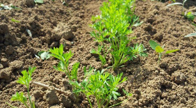 Keimlinge – Gemüsejungpflanzen
