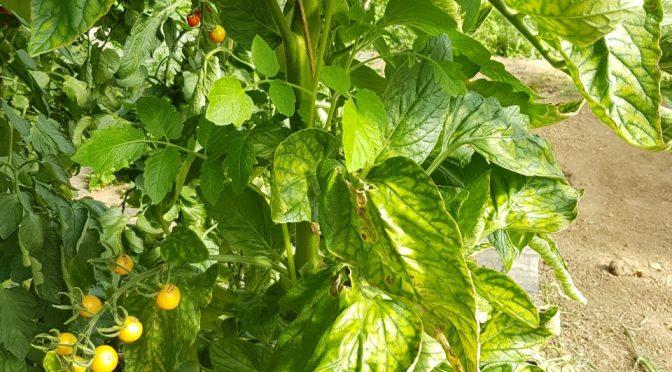 Tomaten Veredelung: Unterlage Maxifort ausgewachsen