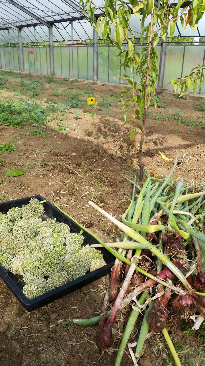 Ernte von Zwiebel Samen