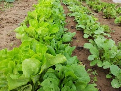 Kopfsalat und Spinat - dieses Jahr etwas eng beieinander...